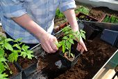 foto of plant pot  - woman planting tomato plant in new pots - JPG