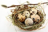 Five Quail Eggs In Nest With Willow Branch