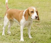 foto of scenthound  - A young beautiful white and orange Istrian Shorthaired Hound puppy dog standing on the lawn - JPG