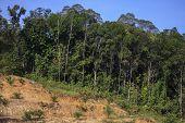 foto of deforestation  - Deforestation of Borneo rain forest for oil palm plantations - JPG