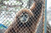 stock photo of animal cruelty  - Sad gibbon behind cage show animal in zoo - JPG