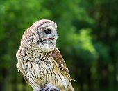 image of owls  - Barred Owl  - JPG