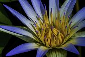 stock photo of lily  - Nymphaea caerulea - JPG