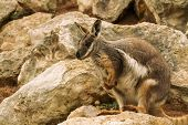 foto of wallabies  - Rock Wallabies are small kangaroos that live within rocky outcrops. They are more common in the arid and tropical parts of Australia.
