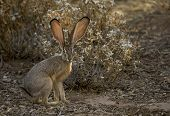 image of wild-rabbit  - A wild Arizona Desert Jack Rabbit sits quietly in the morning light - JPG
