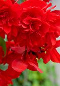 stock photo of begonias  - Closeup of a brilliant scarlet red hanging begonia flower with the background blurred in a vertical orientation - JPG