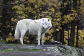 picture of wolf-dog  - A lone Arctic Wolf in the fall - JPG