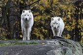 stock photo of horrific  - Arctic Wolf in a forested - JPG