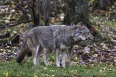 picture of coyote  - Coyotes in a fall - JPG