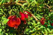 image of pomegranate  - Pomegranate Branch with Pomegranate Fruits Closeup Photo - JPG