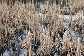 stock photo of dead plant  - Wild swamp with dead plants at autumn - JPG