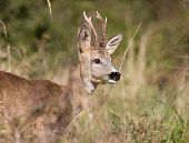 pic of roebuck  - Close up of roe deer with antlers in high grass - JPG