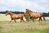 stock photo of chestnut horse  - Two chestnut horses running together on meadow - JPG