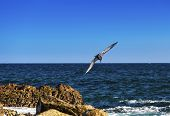 pic of cortez  - Brown pelican prepares to make a deep dive into the Sea of Cortez in Cabo San Lucas Mexico - JPG