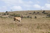 stock photo of eland  - Wild eland in natural habitat in Kenya - JPG