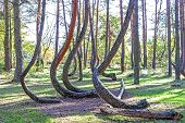 stock photo of natural phenomena  - Grove of oddly shaped pine trees in Crooked Forest Poland - JPG