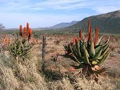 foto of veld  - A whole bunch of aloes in flower in the veld during winter - JPG