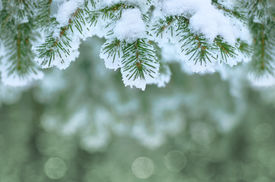 stock photo of winter trees  - Winter background with Christmas tree branch frozen - JPG
