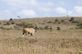 picture of eland  - Wild eland in natural habitat in Kenya - JPG
