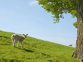 pic of spring lambs  - Spring image of a young lamb on a green meadow