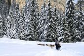 image of sled  - Dog sledding in the wood  - JPG