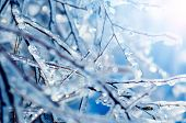 foto of frozen  - The Frozen tree branches with blue icicles - JPG