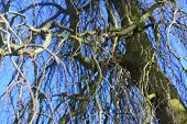 stock photo of weeping willow tree  - Picture taken standing under a weeping willow looking through to the blue sky - JPG