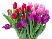 stock photo of bosoms  - bunch of fresh red pink and purple tulip flowers close up isolated on white background - JPG