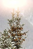 picture of pine cone  - Pine tree with many pine cones during the winter season - JPG