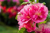 stock photo of hollyhock  - all beautiful Hollyhock flower on nature background - JPG