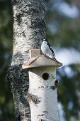 image of nesting box  - a black and white flycatcher sitting on a nesting box  - JPG