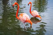 pic of pink flamingos  - Two pink flamingos walking in the shallow water - JPG