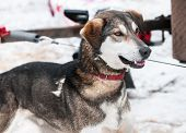picture of sled-dog  - Sled Dog Waits for Race  - JPG