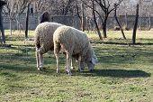 stock photo of baby sheep  - Sheep herd grazing - JPG