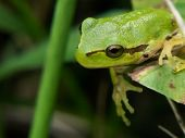 foto of tree frog  - Close up view of a Hyla arborea or European tree frog