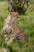 stock photo of cheetah  - africa - JPG