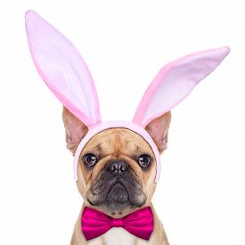 picture of bulldog  - french bulldog dog with bunny easter ears and a pink tie as close up isolated on white background - JPG