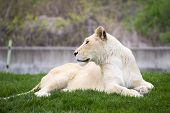 picture of lioness  - White lioness resting on the grass taken at the toronto zoo - JPG