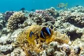 image of damselfish  - Anemone fish (Amphiprion bicinctus) ) in the soundback with anemone.Coral reef Red Sea Egypt ** Note: Soft Focus at 100%, best at smaller sizes - JPG