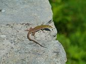 stock photo of lizards  - A colorful lizard - JPG