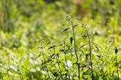 stock photo of dead plant  - Nettle growing in nature - JPG