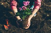 picture of geranium  - Woman planting geraniums from the flower pot into the main garden - JPG