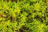 stock photo of creeping  - Bright light green coniferous plant creeping along the ground - JPG