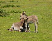 image of donkey  - New Forest Hampshire England UK mother and baby donkey cuddling in the summer sunshine - JPG