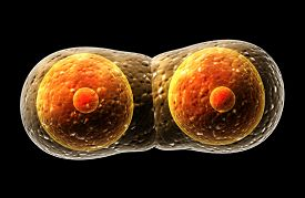 foto of zygote  - Process division of cell - JPG
