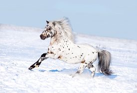image of appaloosa  - appaloosa pony runs free through the winter field - JPG