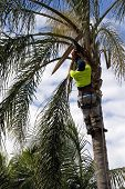 foto of arborist  - Tree Loper using chainsaw to cut the branches on a Palm Tree - JPG