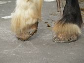 pic of clydesdale  - The cracked hooves of a Clydesdale in need of new shoes - JPG