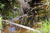 image of alligator baby  - Baby Alligator swimming near its mom in Okefenokee Swamp - JPG