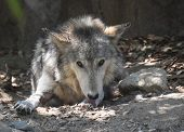 Gorgeous Wolf With His Tongue Out Licking His Front Paw. poster